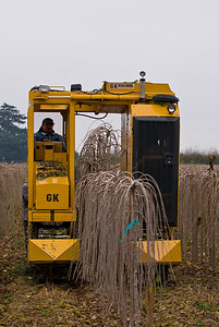 GK Tree Digger harvesting Teas Fruiting Weeping Mulberries (Morus alba 'Pendula') at L.E. Cooke Co Wholesale Nursery.  You can see the trees being lifted onto the shaker behind the digger where the rotating bars knock off the dirt.