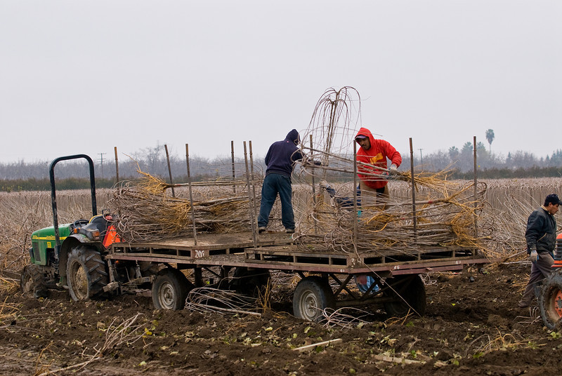 Crews loading Teas Fruiting Weeping Mulberries on trailers after the digger laid them on the ground.<br /> L.E. Cooke Co Wholesale Nursery.