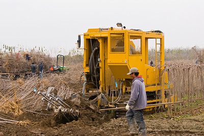 GK Tree Digger placing blade in the ground to harvest row of Teas Fruiting Weeping Mulberries (Morus alba 'Pendula') at L.E. Cooke Co.