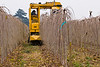 GK Tree Digger harvesting Teas Fruiting Weeping Mulberries (Morus alba 'Pendula') at L.E. Cooke Co Wholesale Nursery.