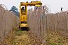GK Tree Digger harvesting Teas Fruiting Weeping Mulberries (Morus alba 'Pendula') at L.E. Cooke Co Wholesale Nursery.