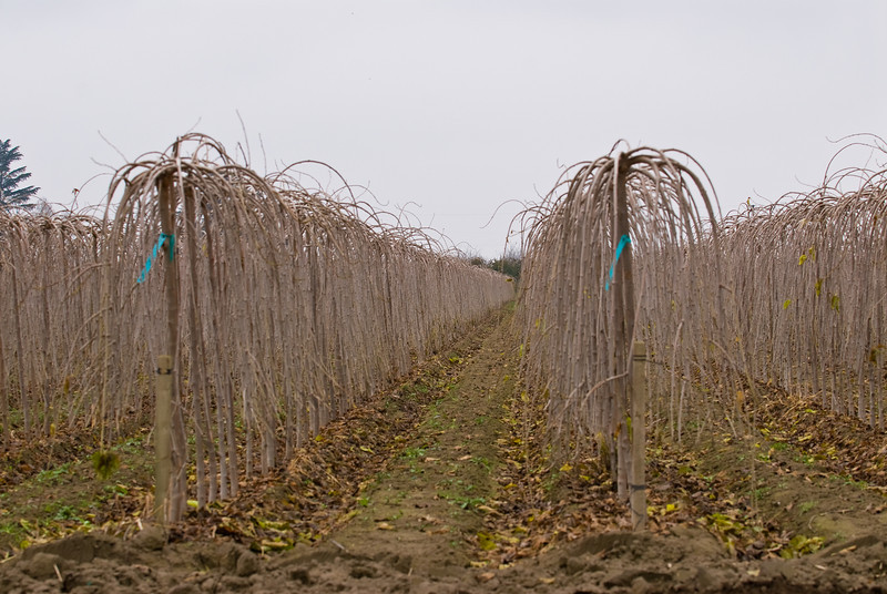 Rows of Teas Fruiting Weeping Mulberries (Morus alba 'Pendula')<br /> L.E. Cooke Co Wholesale Nursery field shot.