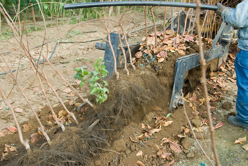 Digging Persimmon trees 11-30-2007<br /> Notice the extra fibrous roots from drip system.