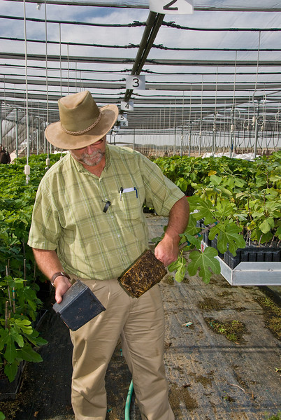 "David Cox (GM) reviewing Fig roots in 5.5"" Pots"