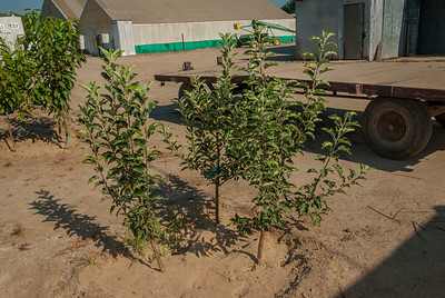 Image of 3 in space of 1 tree.  These are the apple trees exactly 4 months after planting.
