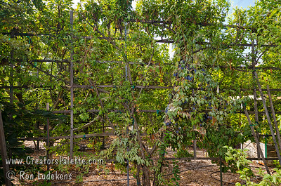 Image taken at Walter and Brenda Thoma's home in Porterville, CA which was hosting the local chapter of the California Rare Fruit Growers.