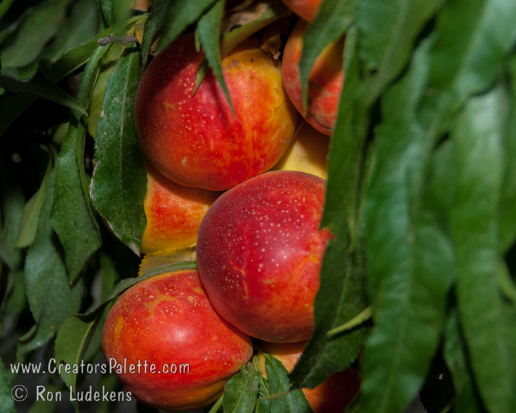 Leprechaun (Natural Dwarf) Nectarine - Prunus persica var nucipersica<br /> Medium to large fruit on a dwarf tree.  Fruit is attractive, 50% bright red over yellow.  Fruit is firm, good flavor and fully freestone.  Trees reach 4-5 ft. high and 5 ft. wide.  Ripens: Mid to Late July.  Requires 800-900 hours chilling.