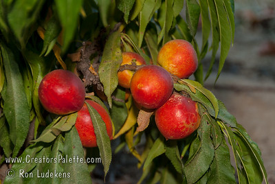 Leprechaun (Natural Dwarf) Nectarine - Prunus persica var nucipersica Medium to large fruit on a dwarf tree.  Fruit is attractive, 50% bright red over yellow.  Fruit is firm, good flavor and fully freestone.  Trees reach 4-5 ft. high and 5 ft. wide.  Ripens: Mid to Late July.  Requires 800-900 hours chilling.