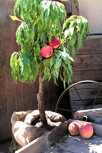 Southern Flame Genetic Dwarf (Patio) Peach. Prunus persica sp. Large.  Yellow skin overspread with red.  Firm, crisp, melting, yellow flesh.  Good eating quality and aroma.  Compares favorably with commercial peaches.  Freestone.  Good for mild winter areas.  Tree height 5 ft.  (400 hours)  Ripens: Early to Mid July.