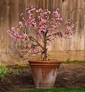 "Golden Glory Genetic Dwarf ""Patio"" Peach with spring bloom in a terra cotta pot.  Prunus persica Very large.  Skin golden with light red blush.  Yellow, delicious, juicy flesh.  Freestone.  Prolific bearer of attractively colored peaches.  Delightful, pink, spring blooms.  Good for cold areas.  Tree height 5 ft.  (700 hours)  Ripens: Mid to Late August."