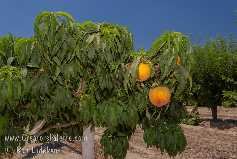 "Bonanza Peach (Prunus persica) - Natural Dwarf ""Patio"" Peach<br /> Medium to large size fruit.  Skin yellow with red blush.  Yellow fleshed freestone.  Profuse production.  Ripens mid to late June.  Mature height 5-6 feet. Requires 450 chill hours."