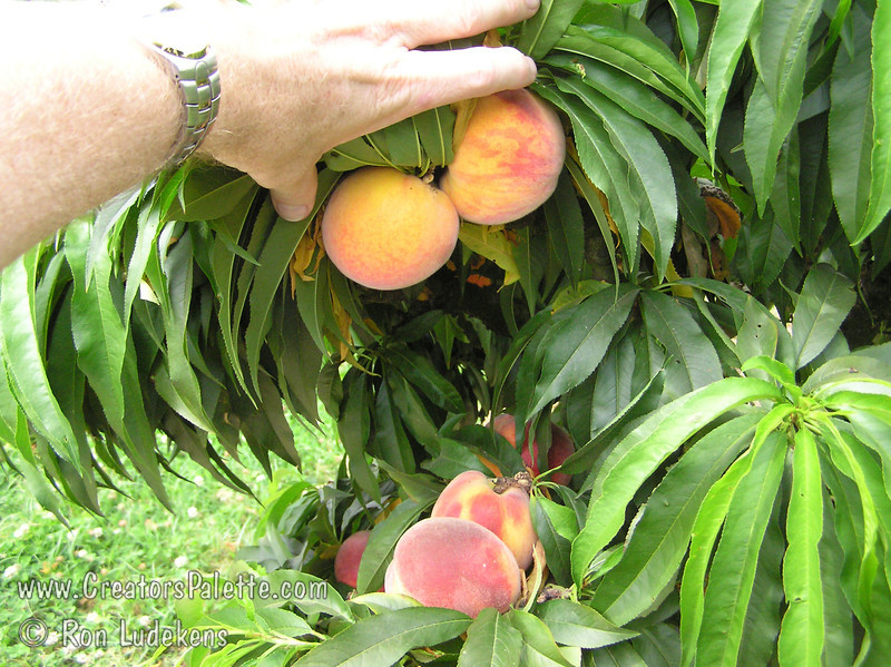 """Bonanza Peach (Prunus persica) - Natural Dwarf """"Patio"""" Peach<br /> Medium to large size fruit.  Skin yellow with red blush.  Yellow fleshed freestone.  Profuse production.  Ripens mid to late June.  Mature height 5-6 feet. Requires 450 chill hours."""