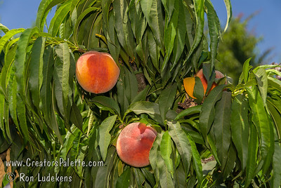 "Bonanza Peach (Prunus persica) - Natural Dwarf ""Patio"" Peach Medium to large size fruit.  Skin yellow with red blush.  Yellow fleshed freestone.  Profuse production.  Ripens mid to late June.  Mature height 5-6 feet. Requires 450 chill hours."