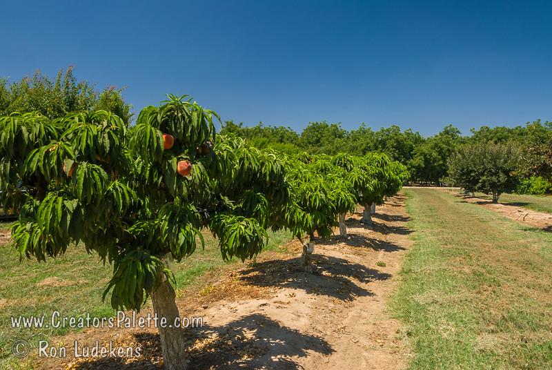 Bonanza Peach Natural Dwarf Patio Peach CreatorsPalette