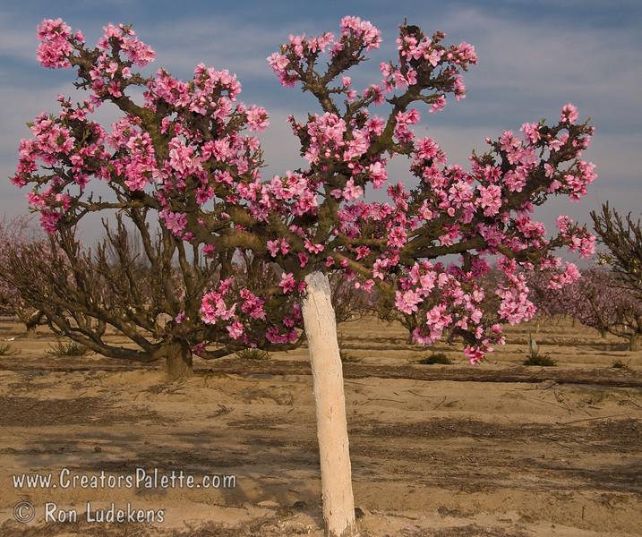 Prunus Persica Dwarf Peach Tree Empress Peach Prunus Persica