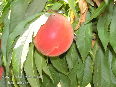Empress Peach - Prunus persica - Natural Dwarf Patio Peach Outstanding peach due to its delicious, mouth watering, sweet flavor.  Large.  Pink to red skin so outstanding in color that it appears to glow.  Yellow flesh, juicy.  Clingstone.  Outstanding pink spring blooms.  Most cold hardy of genetic dwarf peaches.  Tree height 4-5 ft.  (850 hours)  Ripens: Late July to Early August.