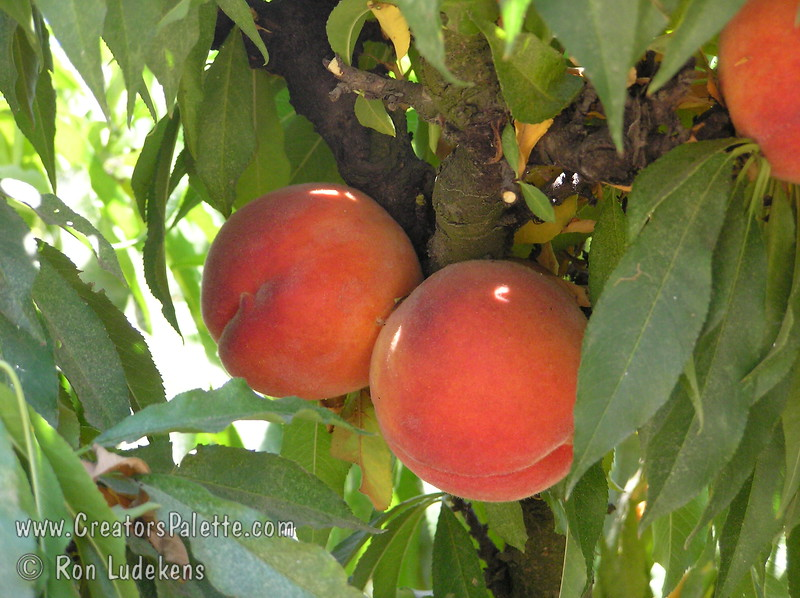 Empress Peach - Prunus persica - Natural Dwarf Patio Peach<br /> Outstanding peach due to its delicious, mouth watering, sweet flavor.  Large.  Pink to red skin so outstanding in color that it appears to glow.  Yellow flesh, juicy.  Clingstone.  Outstanding pink spring blooms.  Most cold hardy of genetic dwarf peaches.  Tree height 4-5 ft.  (850 hours)  Ripens: Late July to Early August.