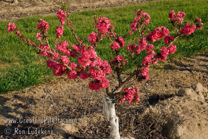 Flory Peach   Natural Dwarf Patio Peach   Prunus Persicau003cbr /u003e Small To