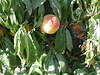 Flory Peach - Natural Dwarf Patio Peach - Prunus persica<br /> Small to medium size.  White skin with slight red blush.  Tender, sweet, white flesh.  Freestone.  Exquisite, large, double, bright red blossoms.  Mature height: 5'.  (400 hours)  Ripens: Late July.  Small tree is sold more for the spring bloom than the fruit since the fruit is sweet but light on flavor.