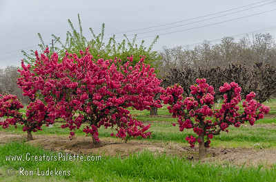 Flory Peach - Natural Dwarf Patio Peach - Prunus persica Small to medium size.  White skin with slight red blush.  Tender, sweet, white flesh.  Freestone.  Exquisite, large, double, bright red blossoms.  Mature height: 5'.  (400 hours)  Ripens: Late July.  Small tree is sold more for the spring bloom than the fruit since the fruit is sweet but light on flavor.