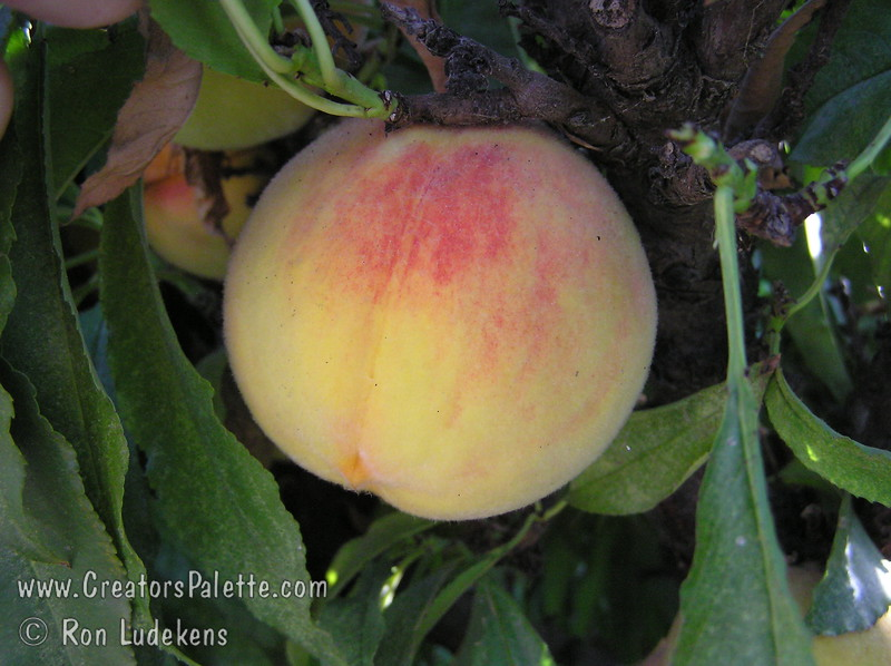Golden Glory Peach - Natural Dwarf - Patio Peach - Prunus persica<br /> Very large.  Skin golden with light red blush.  Yellow, delicious, juicy flesh.  Freestone.  Prolific bearer of attractively colored peaches.  Delightful, pink, spring blooms.  Good for cold areas.  Tree height 5 ft.  (700 hours)  Ripens: Mid to Late August.