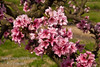 Southern Flame Natural Dwarf (Patio) Peach. Prunus persica sp.<br /> Large.  Yellow skin overspread with red.  Firm, crisp, melting, yellow flesh.  Good eating quality and aroma.  Compares favorably with commercial peaches.  Freestone.  Good for mild winter areas.  Tree height 5 ft.  (400 hours)  Ripens: Early to Mid July.