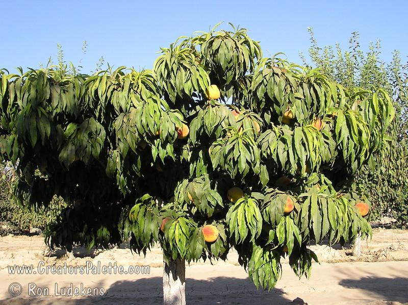 Prunus Persica Dwarf Peach Tree Peach Prunus Persica lt br