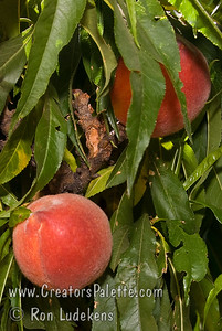 "Southern Sweet Natural Dwarf ""Patio"" Peach - Prunus persica Medium.  Attractive yellow skin with red overlay.  Yellow flesh, good flavor.  Freestone.  Very prolific bearer.  Tree height 4-5 ft.   (500 hours)  Ripens: Early to Mid-June."