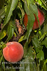 "Southern Sweet Natural Dwarf ""Patio"" Peach - Prunus persica<br /> Medium.  Attractive yellow skin with red overlay.  Yellow flesh, good flavor.  Freestone.  Very prolific bearer.  Tree height 4-5 ft.   (500 hours)  Ripens: Early to Mid-June."