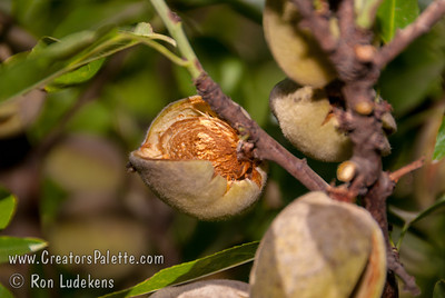 All-in-One Almond (Prunus dulcis) #1 almond for home orchards.  Medium to large size nut.  Soft shelled with sweet, good quality kernels.  Its heavy production restricts growth so that some classify the tree as semi-dwarf to 15 ft.  Blooms with Texas (Mission) and Nonpareil.  Self-fertile.  (500 hours)  Ripens: Late September to Early October.