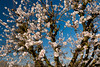 Ne Plus Almond (Prunus dulcis)<br /> Large, long and narrow nut.  Soft shelled with sweet kernels.  Blooms about mid-February.  Needs pollinizer.  Best pollinizer: Nonpareil.  250 hours chilling required.  Ripens: September.