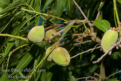 Ne Plus Almond (Prunus dulcis) Large, long and narrow nut.  Soft shelled with sweet kernels.  Blooms about mid-February.  Needs pollinizer.  Best pollinizer: Nonpareil.  250 hours chilling required.  Ripens: September.