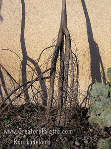 Images of first test to create multi-branched pecan roots. 2006-01-30