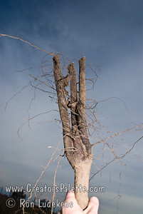 Pecan Roots from 3 year test block showing branching.  On drip systems.  These trees originated in air pruned root pots.