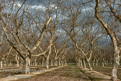 Dormant Walnut Orchard under Stormy Skies