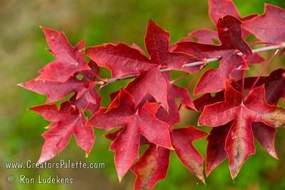 Acer truncatum 'Fire Dragon®' - Fire Dragon Shantung Maple Fire Dragon® Maple delivers vivid reds and dazzling scarlets rarely seen in the Midwest or lower-Midwest landscapes in autumn. It promises to provide the desirable New England type fall color for many hotter areas of the country. Orange-red new growth turns to lustrous green during the summer.  A tough, hardy and well-behaved mid-size maple.  15-25' high x 20-30' tall. Cold hardy to U.S.D.A.  Zone 5 (some say 4).