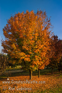 Caddo Maple (Acer saccharum 'Caddo') A sub-species of Sugar Maple that is adapted to dry summers and alkaline soils. Thick, medium green, leathery, slightly smaller leaves. Autumn color ranges from yellow and orange to deep red and scarlet. Caddo maples are native to southwestern Oklahoma, are well-adapted to heat and drought, and resistant to leaf tatter and scorch common among many maples. Height of  50-60' spread of 25'-35'. Cold hardy to U.S.D.A.  Zone 7.