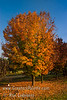 Acer (Maples & Boxelders) : 2 galleries with 38 photos