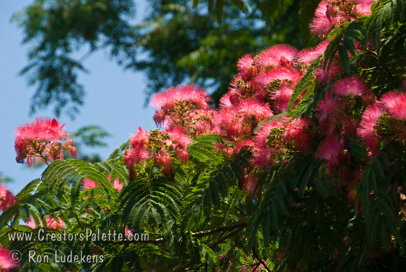 Albizia julibrissin fan silk flame mimosa silk tree albizia julibrissin fan silk flame mimosa silk treebr mightylinksfo
