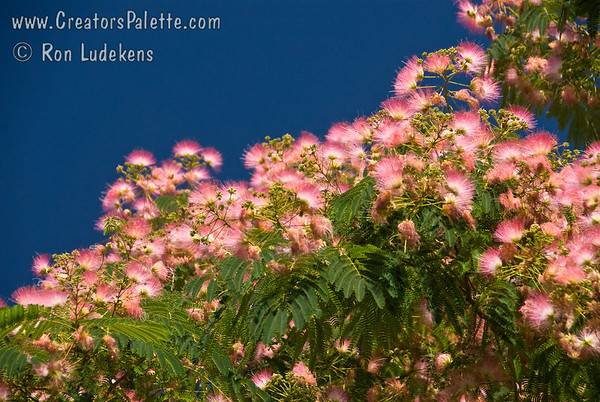 Albizia julibrissin (aka Mimosa or Silk Tree)