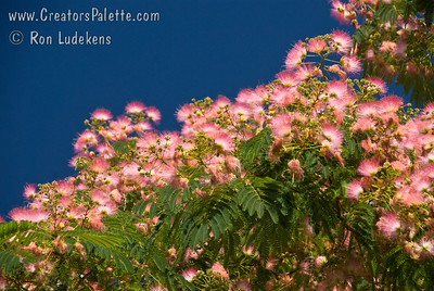 Albizia julibrissin - Mimosa - Silk Tree Beautiful lace leaf foliage.  Fluffy pink flowers from May to August.  Size can vary in this seedling grown tree with heights 20-25 feet and spreads of 20-40 feet.  Sets seed pods in the fall.  Cold hardy to USDA Zone 6