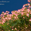 Albizia (Mimosa - Silk Tree) : 2 galleries with 29 photos