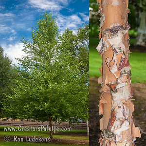 Heritage Birch Collage