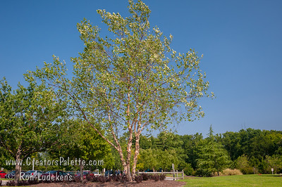 Multi-Stem (Clump) River Birch (Heritage or Dura-Heat) at City View District Park, Virginia Beach, VA