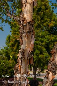 Multi-Stem (Clump) River Birch (Heritage or Dura-Heat) at City View District Park, Virginia Beach, VA