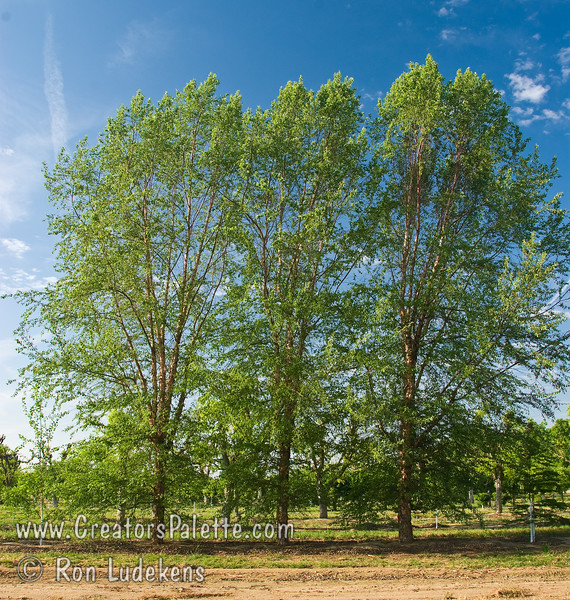 """Dura-Heat® River Birch (Betula nigra 'BNMTF)<br /> Superlative lustrous dark green leaves that turn soft butter yellow in fall.  Creamy white bark exfoliates in 1"""" - 2"""" diameter branches.  Bark appearance is superior at an early age.  Denser canopy than other River Birch selections.  An outstanding selection for residential or commercial landscapes.  Resistant to Bronze Birch Borer.  Height 40 ft., spread 25-30 ft.  Cold hardy to USDA Zone 5, maybe 4."""