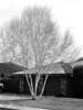 Birch Clumps dormant (B&W)