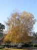 Birch Fall Color 3 (RGB)