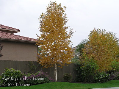 European White Birch fall color 1