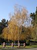 Birch Fall Color 5 (RGB)